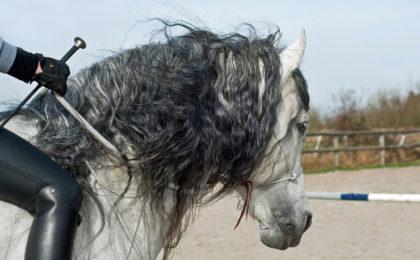 Equitation cordelette