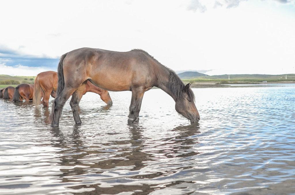 Chaleur, quels sont les risques pour nos chevaux ?