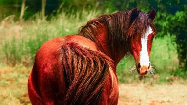 cheval surpoids se retourne avec du foin