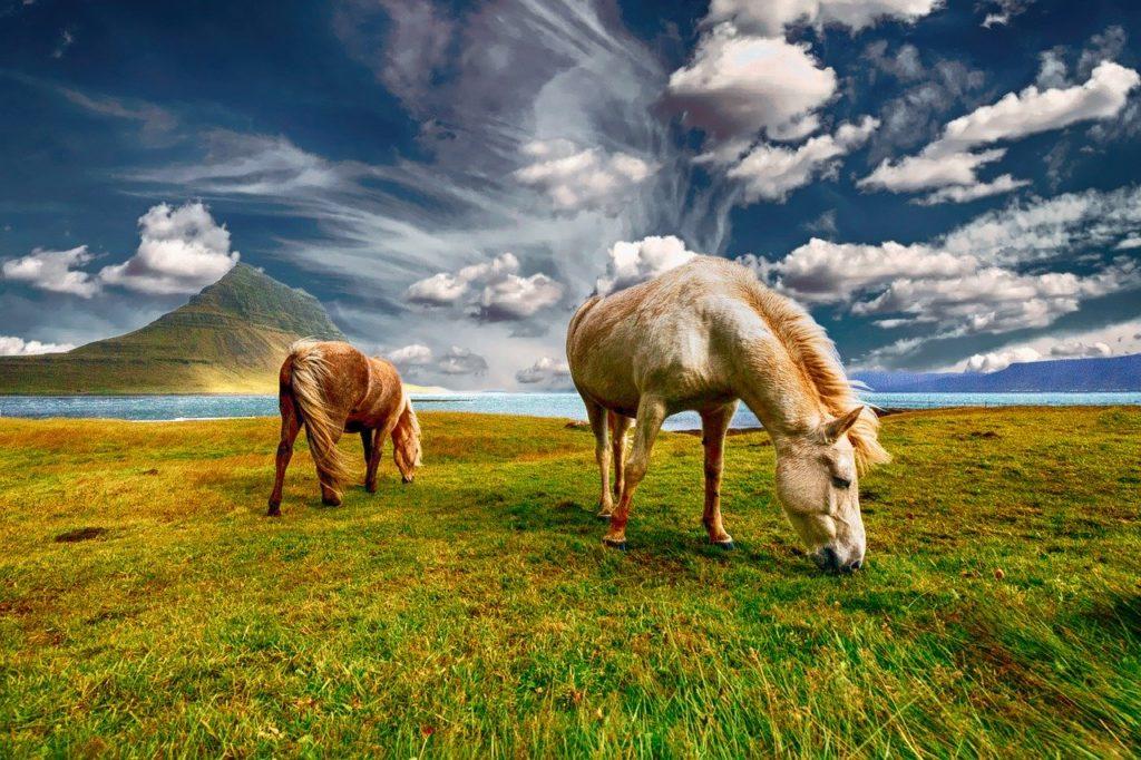 Chevaux libres mangeant de l'herbe